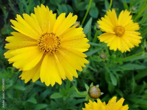 gelbe blumen stockfotos und lizenzfreie bilder auf bild 23816083. Black Bedroom Furniture Sets. Home Design Ideas
