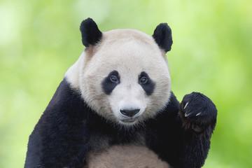 ジャイアントパンダのアップ