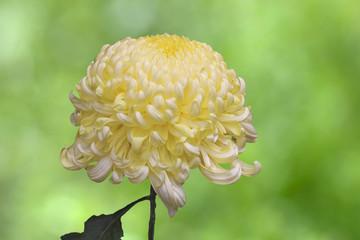 大輪の黄色い菊の花