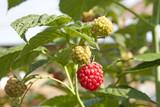 Ripe raspberry and unripe raspberries poster