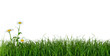 obraz - Green Grass and Daisy