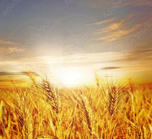 Beautiful Wheat.Sunset