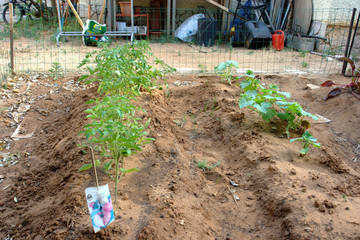 Young tomato and cucumber plants giving fruit