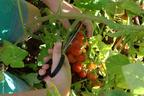 Picking red organically grown cherry tomatoes at home garden
