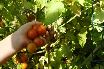 Picking ripe organically grown cherry tomatoes at home garden