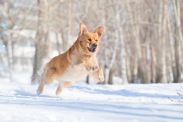 Happiness: golden retriever dog in a jump above snow
