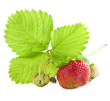 Ripe and unripe strawberries on a branch with green leaves . poster