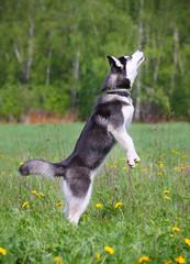 husky jumps