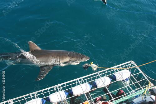 requin blanc - 23849013