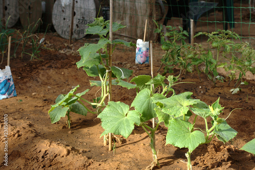 Young cucumber plants sprouting