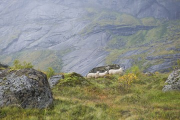 Sheep on the mountains of the Lofoten Islands, Norway