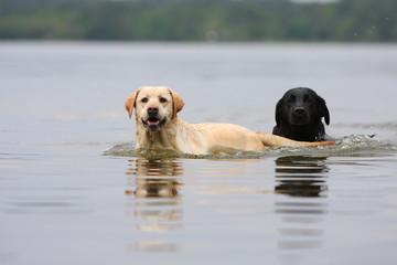 un labrador noir et un retriever sable dans l'eau
