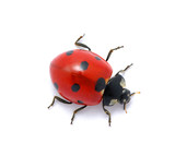 Ladybug on  white - Fine Art prints