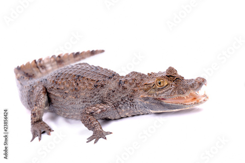 Fotobehang Krokodil alligator isolated on a white