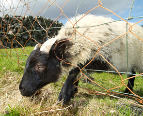 Young ram trapped in the fance wire