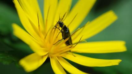 insetto nero su fiore giallo