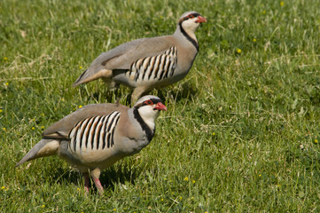 Pair of Chukars