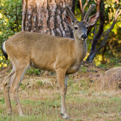 Blacktail Stag in Velvet