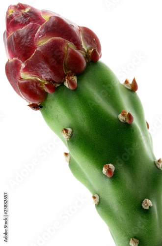 bouton floral cactus figuier de barbarie fond blanc de. Black Bedroom Furniture Sets. Home Design Ideas
