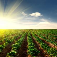 """Постер, картина, фотообои """"potato field on a sunset"""""""
