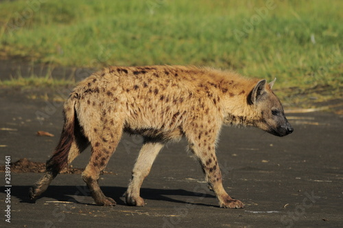 The Spotted Hyena (crocuta crocuta), lake Nakuru, Kenya