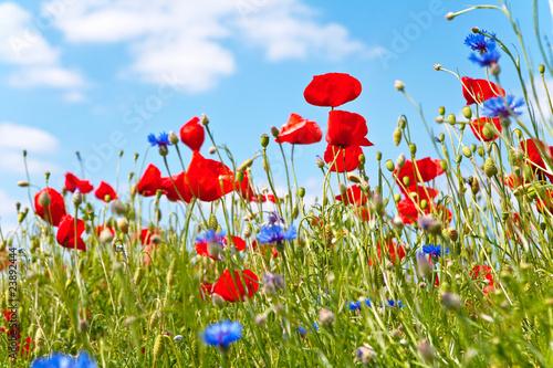 Fototapeten,wiese,blumenwiese,blühen,sommer
