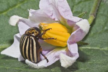 Escarabajo de la patata sobre una flor.