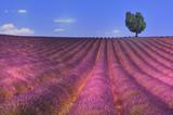 Fototapety panorama d'un champs de lavande avec arbre perdu