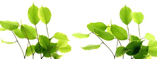 feuilles figuier pleureur, fond blanc