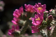 Staghorn Cholla cactus flowers (Cylindropuntia versicolor),