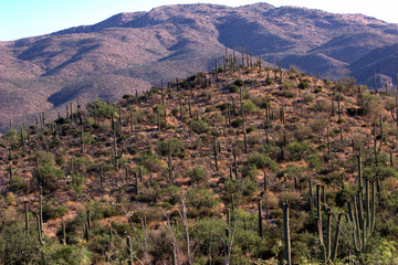 Single Saguaro Cactus w/ fruit and hilly background