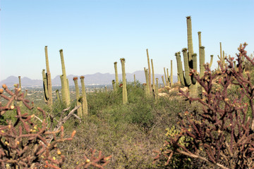 Saguaro Cactus w/ fruit frame by Staghorn Cholla