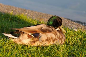 Muck Duck