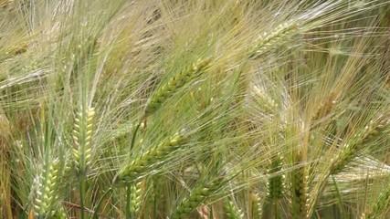Kornähren im Sonnenlicht - Video - Cereal Grains