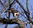Feeding Cooper's Hawk