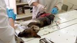 The veterinarian makes surgery the dog with broken hind legs