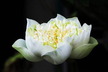Lotus 4356
