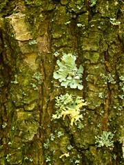 Curly lichen