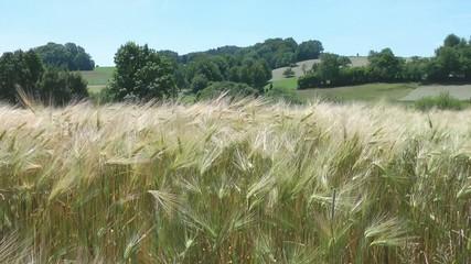 Kornfeld & Naturlandschaft - Video - Cereal Grains