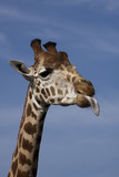 side profile of giraffe poking its tongue out. poster