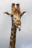 Giraffe poking its tongue out poster