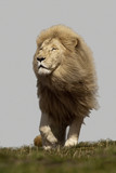 White lion - mane blowing in the wind poster