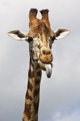 Giraffe poking its tongue out