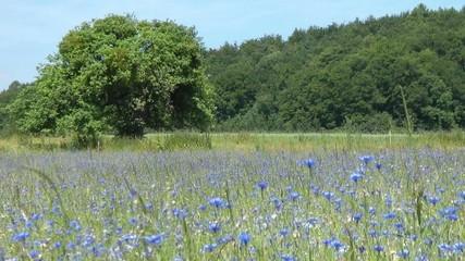 Kornblumen & Natur - Video - Cornflowers & Nature