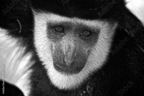 Mantled Guereza (Colobus Guereza) © foqus