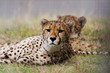 The relaxing Cheetah