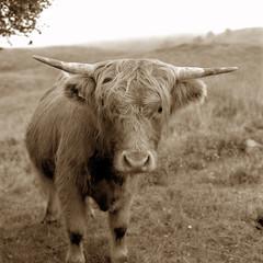 Highland Cow, sepia tone