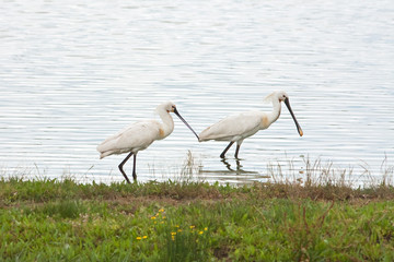 a pair of spoonbill looking for food