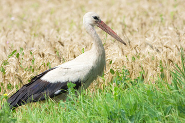 white stork ( Ciconia ciconia) looking for food