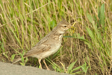 crested lark  with grasshoppers in the bill